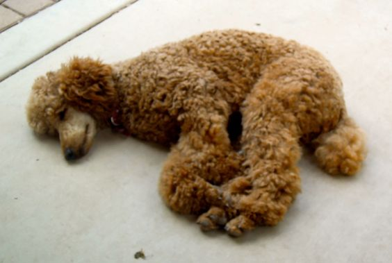 Typical Standard Poodle sleeping position. All mine have slept this way.