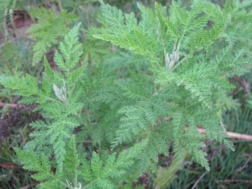 Artemesia Afra - Indigenous South African Creeper / Ground Cover - 10 Seeds