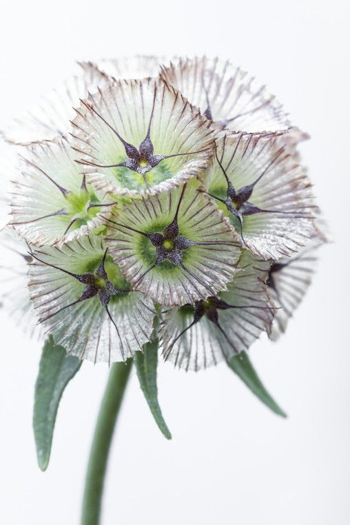 Scabiosa stellata 'Sternkugel' seedhead photo courtesy of Chiltern Seeds. Talented plantswoman Marina Christopher is giving a masterclass in plant propagation at Allt-y-bela on 31 March. Places are still available. Visit http://www.arnemaynard.com/courses/allt-y-bela-workshops/plant-propagation/#.VQAUYEK6Ak8 for details and to book.