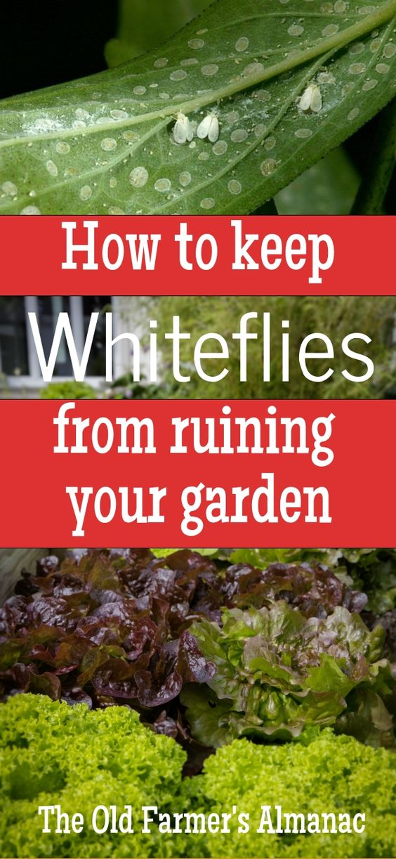 Learn about Whiteflies--what they are, how to spot them, and how to protect your garden!