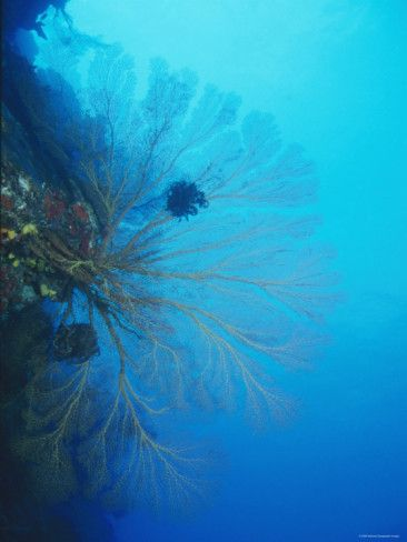 Large Yellow Gorgonian Coral with Feather Star / Lau islands, Fiji