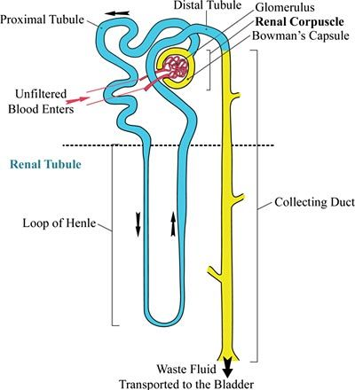 search and google on pinterest : nephron diagram - findchart.co