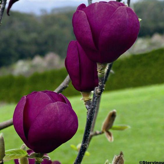 Magnolia+Black+Tulip+®