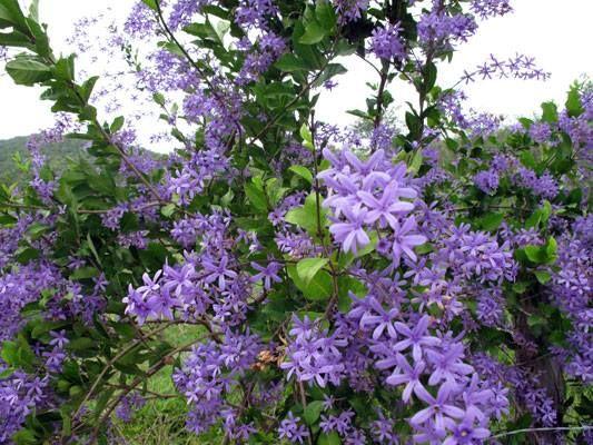 flor azul jardim secreto : flor azul jardim secreto:Viuvinha ou Flor-de-são-miguel (Petrea subserrata)