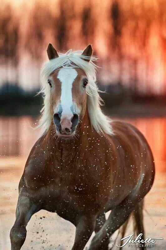 Haflinger At Sunset Pferde