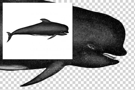 Whales: 1151 Long-finned pilot whale By Enliven Designs