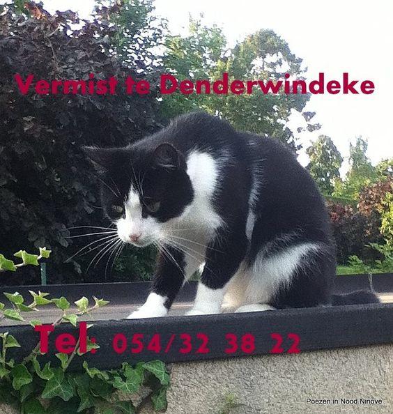 Nielson, kattin van 2 jaar sinds 3 weken vermist te Denderwindeke. Wie haar gezien heeft kan contact opnemen op het nummer 054/32 38 22