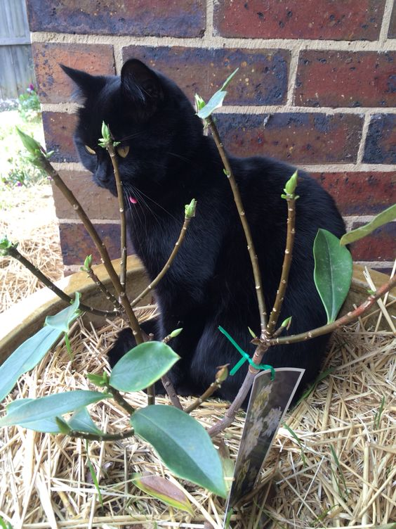 My beautiful Salem pretending to be a garden ornament in the daphne.