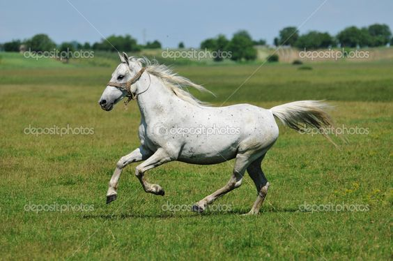 horse galloping | White horse galloping around the field, horseback riding, grass ...