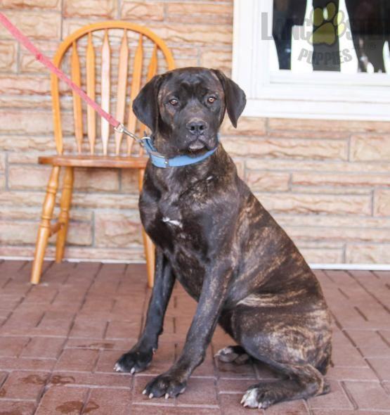 Tara Cane Corso Italian Mastiff Puppy For Sale In Dornsife Pa In 2020 Mastiff Puppies For Sale Cane Corso Italian Mastiff Puppies
