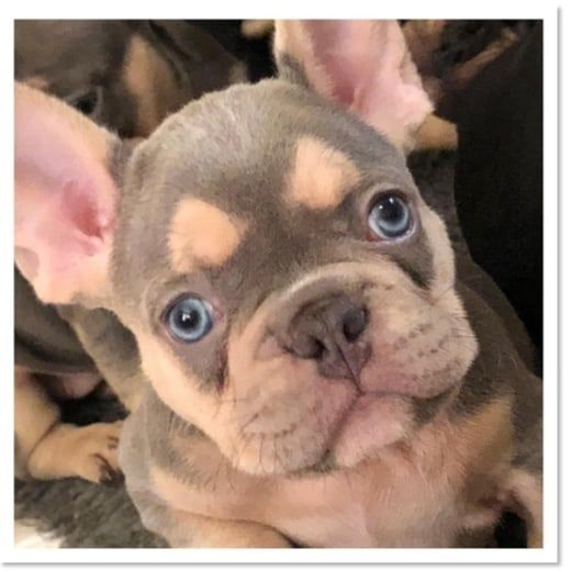 Wrinklebullz On Instagram Lilac And Tan Now Available Based In London Uk Bulldog Lilac French Bulldog French Bulldog