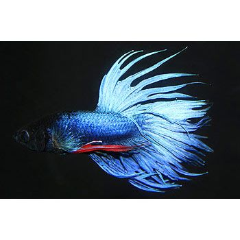 Blue Male Crowntail Betta