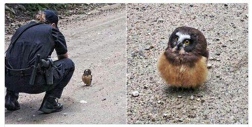 A wandering baby owl runs into a cop in Boulder Colorado. https://t.co/j9G4jQ69HD