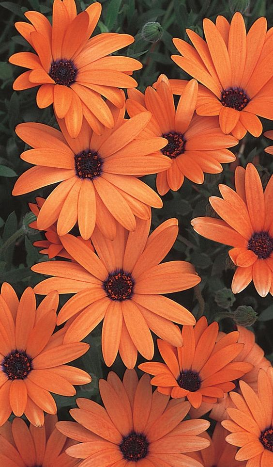 Orange Symphony has an unusual orange bloom with a brilliant purple center. Beautiful blooms in spring or fall.: