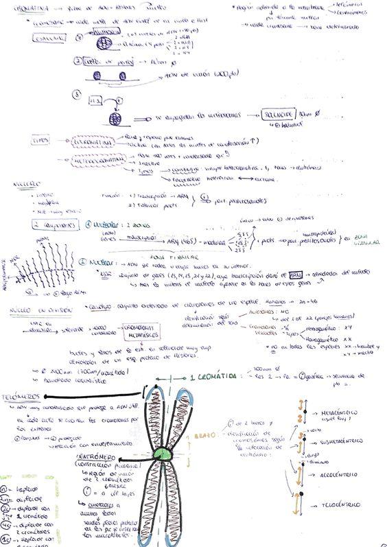 Otra ficha de estudio y repaso de @argan_4 sobre la cromatina y cromosomas. Invito a los estudiantes de bachiller y universidad a que hagan materiales de trabajo similares.