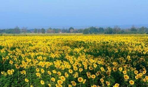 Tha-I-bun sunflower 6