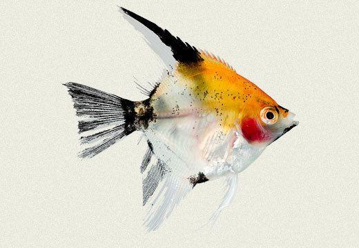 Koi Angelfish Pterophyllum Scalare Size 1 2 Inch Angel Fish Fish Koi Fish Pond