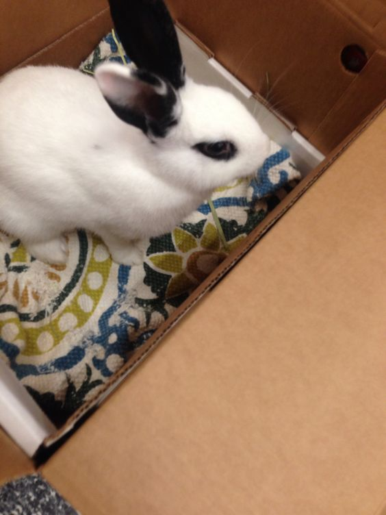 This cutie is named Puff. She was very sweet and calm. Contact bunnybuddies.org for more information