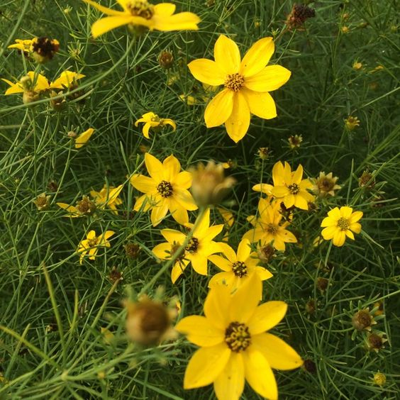 Threadleaf Coreopsis in bloom at Land Between The Lakes. Photo by Regina Roby