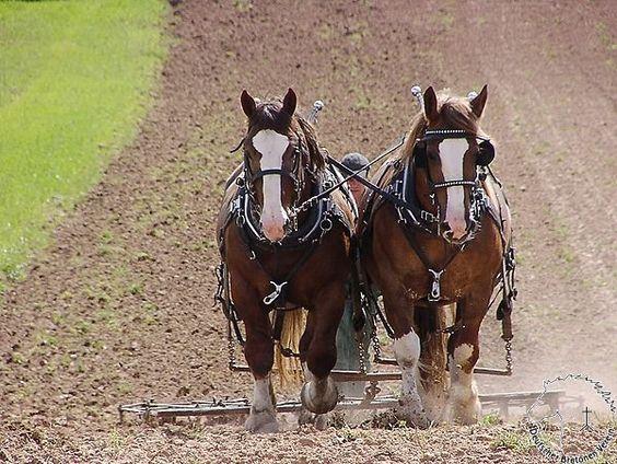 Breton Draft Horses