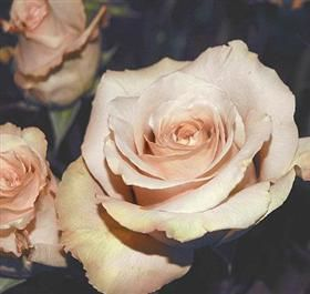 Rose Quicksand ~ Cream, Beige Mayesh Wholesale Florists - Search our Flower Library