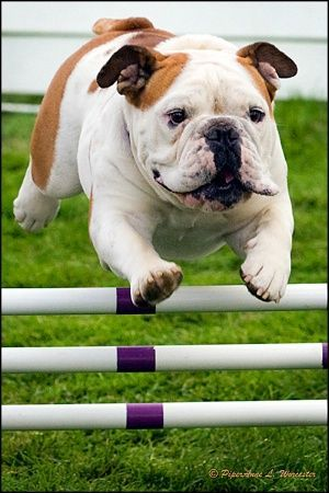 Bulldogs Have Amazing Athletic Prowess Bulldog Puppies