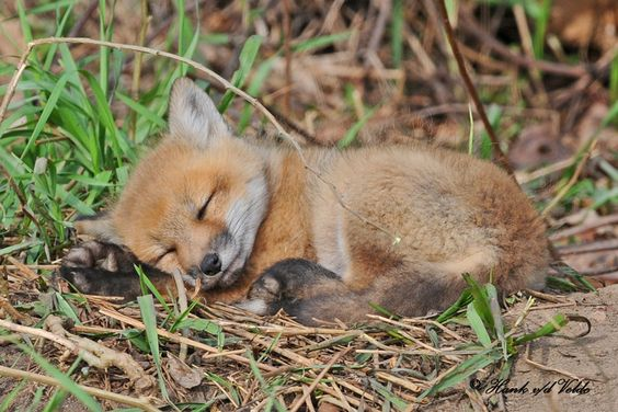 cute fox pup