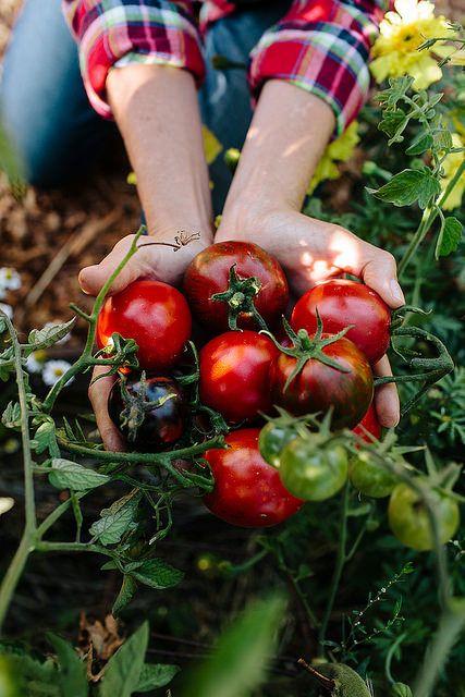 Selbstgepflückte Tomaten schmecken einfach doppelt so gut. #cestbon #geramont