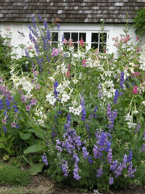Spring cottage garden containing larkspur, filipendula, hollyhock, snapdragon, and nicotiana