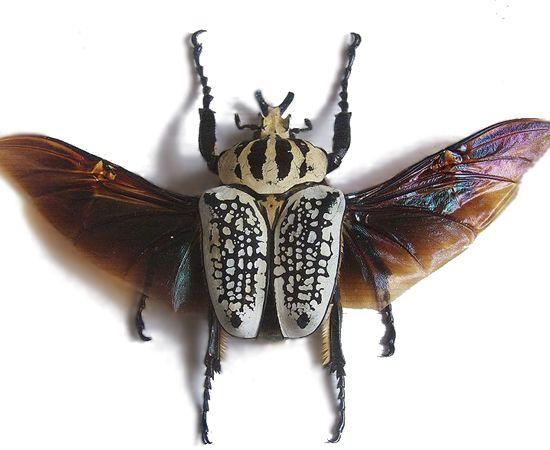besouro Goliathus giganteus: Bugs 10, Escarabajo Goliat, Beautiful Bugs, Goliathus Golyat, Insects Garabat, Insects Buzz