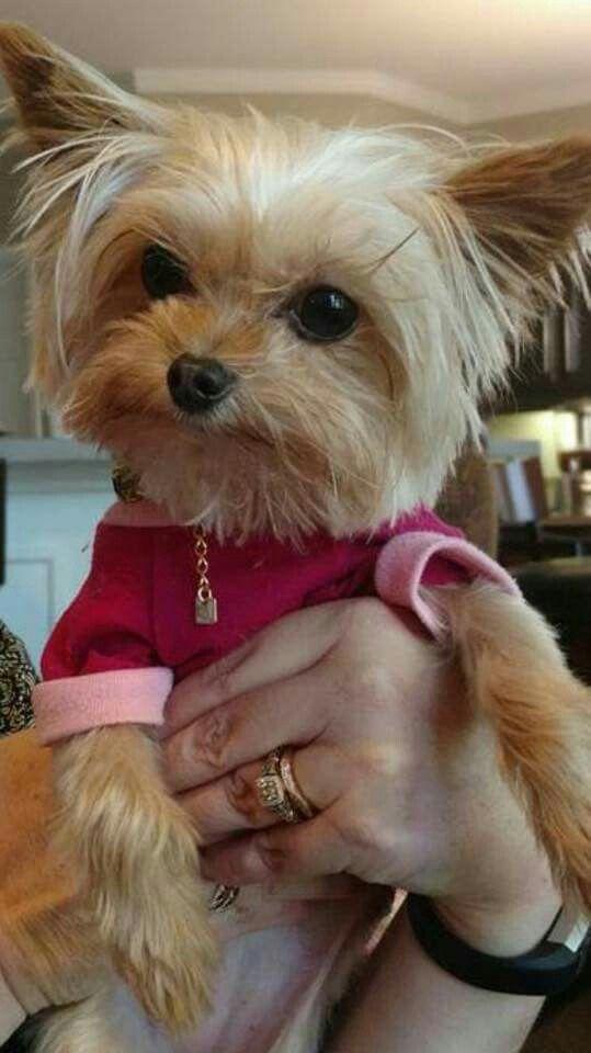 Cutie Pie Yorkie dog