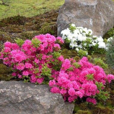 L'Azalée est un arbuste de petite taille, préférant les situations ombragées, cultivé pour sa floraison généreuse en entonnoirs de couleurs variées.