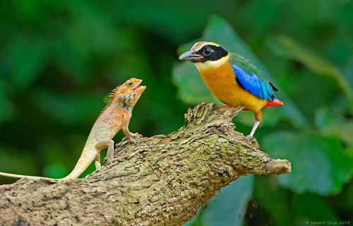 Tumblr/Blue-Winged Pitta by Harprit Singh