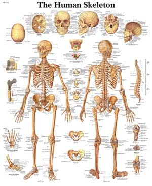 human skeleton bones pictures – serior, Cephalic Vein