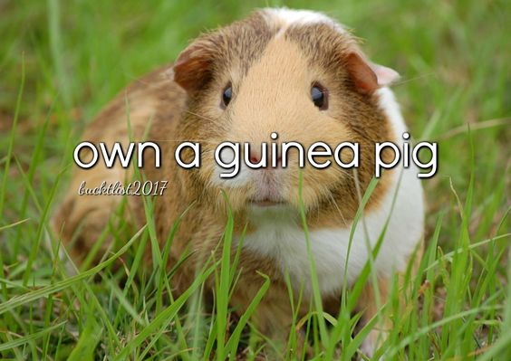 own a guinea pig Bucket List 2017  SO CUTE AND SQUISHY:
