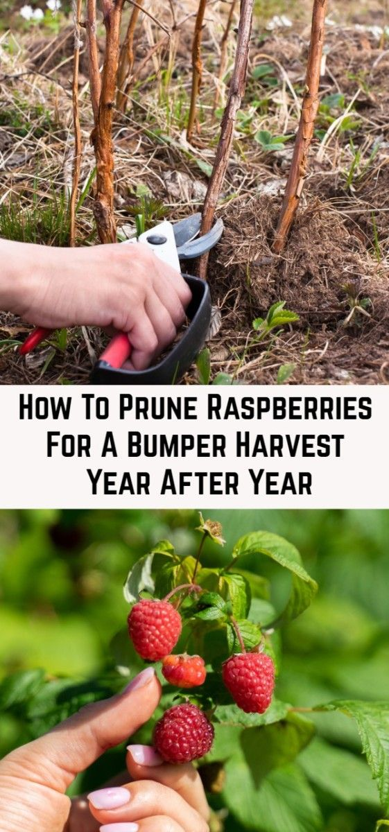 How To Prune Raspberries For A Bumper Harvest Year After Year Veg Garden Edible Garden Pruning Raspberries