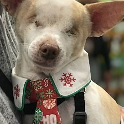 Pictures Of Davey A Chihuahua For Adoption In San Francisco Ca