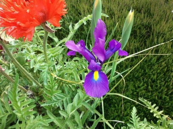 d-day grape iris