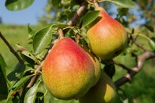 Find out what store sells Kieffer pears.  This is probably what you ate in the orchard.