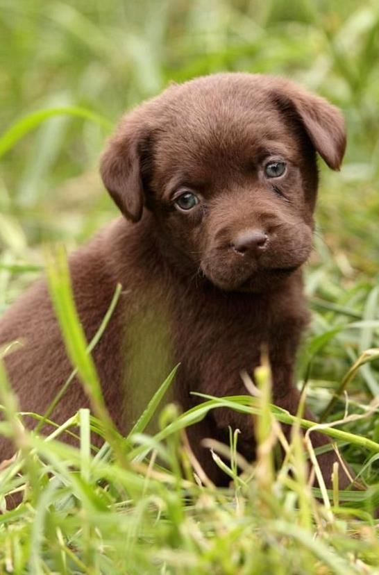 There Are A Lot Of Great Names For Chocolate Lab Puppies You May Be Surprised At What You Can Come Up With While In 2020 Lab Puppies Chocolate Lab Puppies Lab Puppy