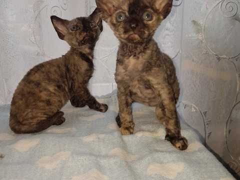 Devon Rex Kittens For Sale Two Girls Sold Sold With Images Devon Rex Kittens Kittens Devon Rex