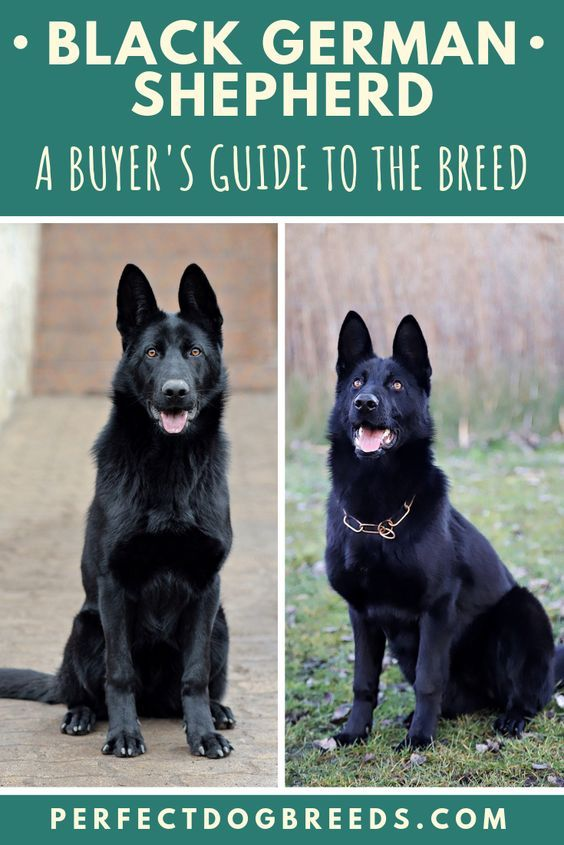 Short Haired Black German Shepherds Form Extremely Strong Bonds With Their Family In 2020 Black German Shepherd Black German Shepherd Dog Black German Shepherd Puppies