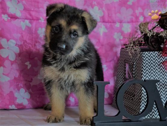 Rex German Shepherd Puppy For Sale In Penn Yan Ny German