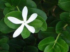 Flower Power: Star Jasmine