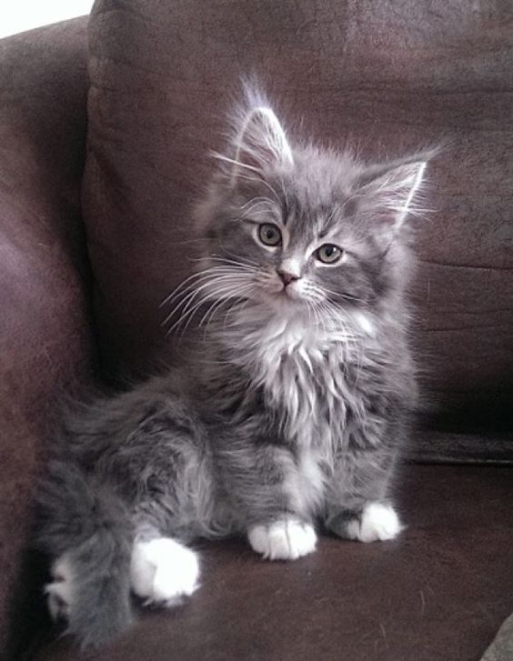 Mainecoon Kitten Tries To Nurse On Shoulder And Makes Biscuits Video Mainecoon Kittens Funny Video Pets Cats Cute Cats And Kittens Cute Cats