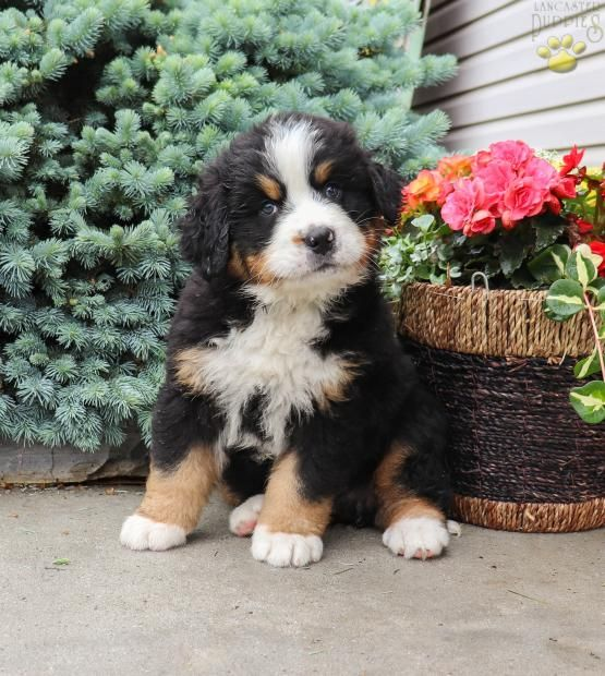 Pin By Randy Kennedy On Dogs Bernese Mountain Dog Puppy Bernese Mountain Dog Puppies