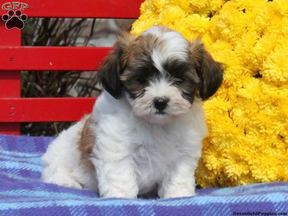 Bella, Shichon puppy for sale in Quarryville, Pa Teddy