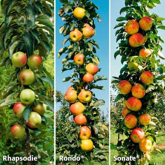 Sortiment Klassik-Säulenäpfel | von Gärtner Pötschke