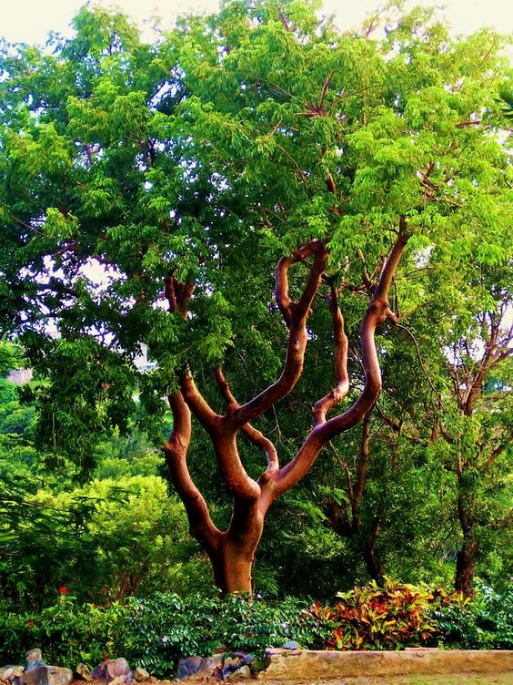 ✮ The turpentine tree has beautiful sleek bark and graceful reaching limbs