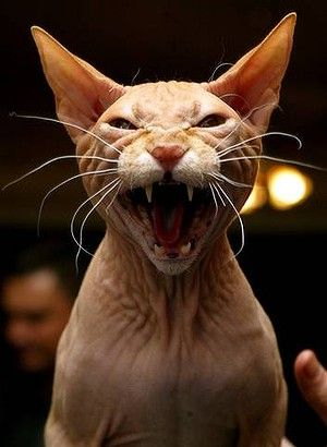 The Sphinz cat may be the friendliest breed (a new study finds)